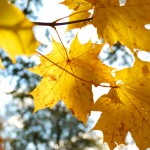 yellow tree leafs close-up in Fall season. Shallow depth of fiel