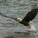 Bald Eagle fishing in a river in Alaska