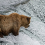 Brown Bear in Brooks Falls, Alaska hunting Sockeye Salmon
