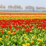 Colorful tulip fields in the Netherlands in spring