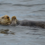 Sea otter, Ell Cove, Alaska