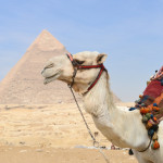 The cute camel and Giza Pyramids - Cairo, Egypt